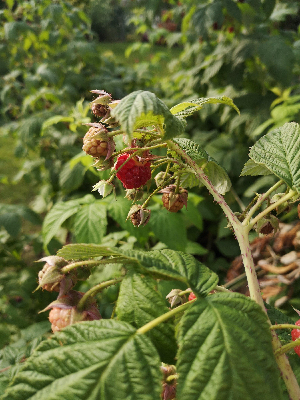 Hindbær